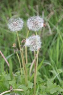 Dandelions (Taraxacum officinale)