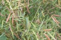 Narrow-leaved Everlasting-pea (Lathyrus sylvestris)