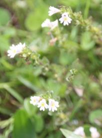 Common Eyebright (Euphrasia officinalis)