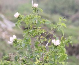 Field Rose (Rosa avensis)