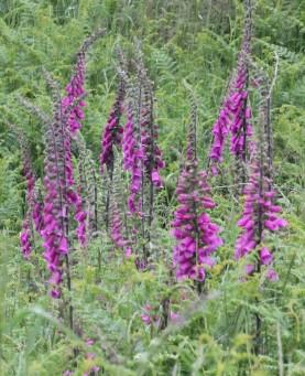 Foxgloves (Digitalis purpurea)