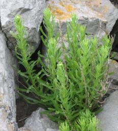 Golden Samphire (Inula crithmoides)