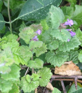 Ground Ivy (Glechoma hederaceae)