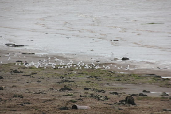 gulls-on-river
