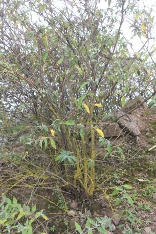 Buddleia with Lichen