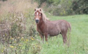 traveler pony