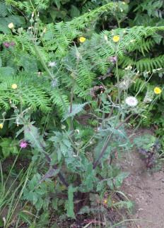 Prickly Sow-thistle (Sonchus asper)