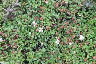 Cotoneaster small leaved (Cotoneaster microphyllus)