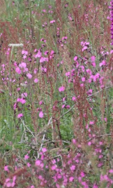 Red Campion ( Silene dioica)