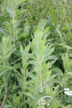 Rosebay Willowherb (Chamerion angutifolium)