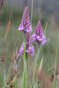 Southern Marsh Orchid (Dacylorhiza maculata)