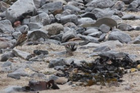 sparrows-on-beach