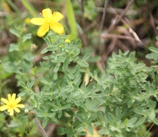 Trailing St. John's-wort (Hypericum humifusum)