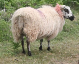 Welsh Hill Speckled Face Sheep