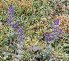 Wild Clary (Salvia verbenaca)