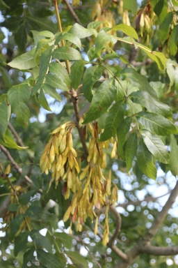 Seed-heads of Ash (Fraxinus excelsior)
