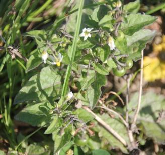 Black Nightshade (Solanum nigrum)