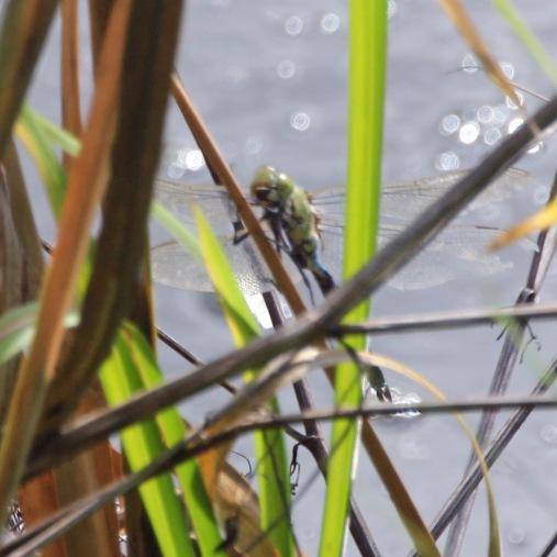 Blue Hawker (Dragonfly) (Aeshna cyanea)