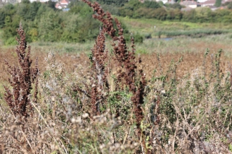 Broad-leaved Dock (Rumex obtusifolius)