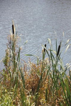 Bulrushes or Reed Mace (Typha latifolia)