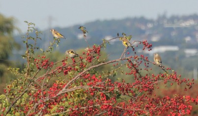 chattering-finches