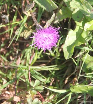 Common Knapweed (Centaurea nigra)
