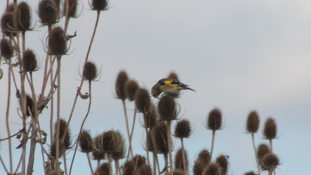 finches-in-teasel