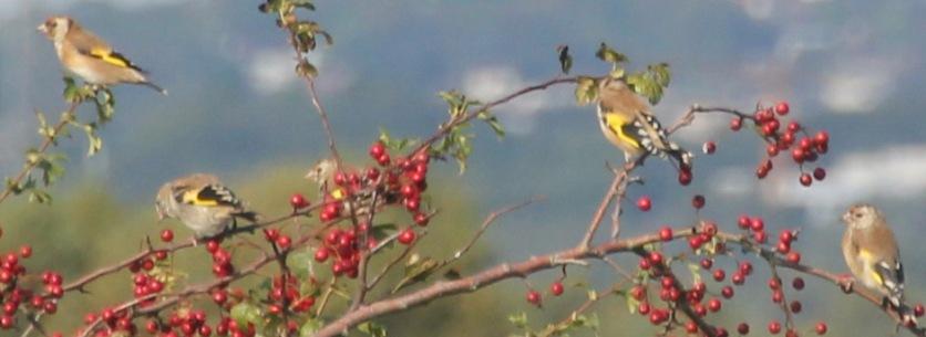 Goldfinches ( Carduelis carduelis)