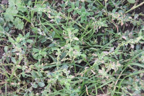 Knotgrass (Polygonum aviculare)