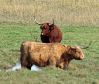 Long-horn Cattle (Bos primigenius)