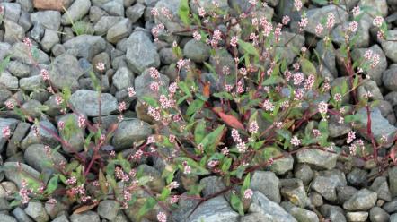 Redshank (Persicaria maculosa)