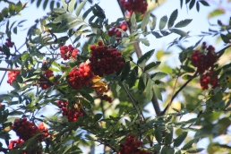 Rowan with berries (Sorbus aucuparia)