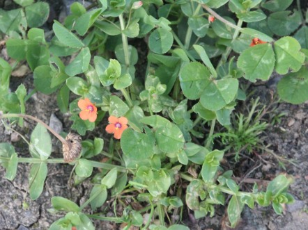 Scarlet Pimpenel (Anagallis arvesis)