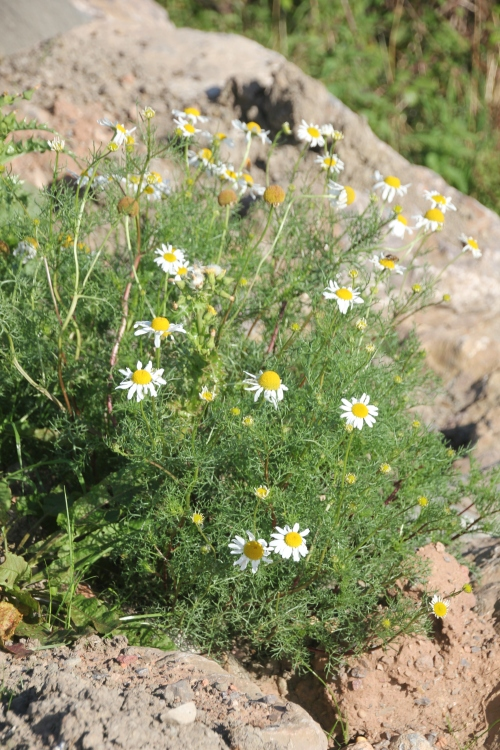 Scentless Mayweed (Tripleurospermum inodorum)