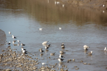 Seagulls - Herring, Lesser Black-backed and Black-headed.