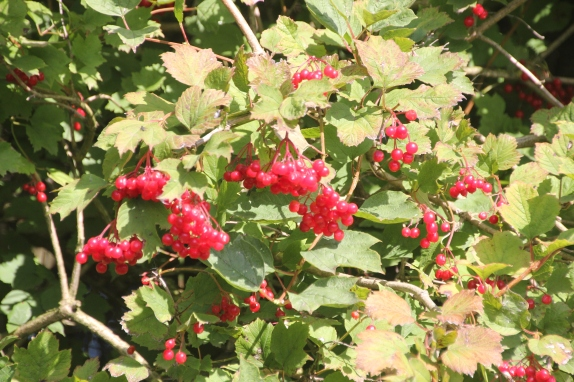 Wayfaring tree with berries (Viburnum lantana)