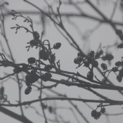Alder seed-heads (Alnus glutinosa)