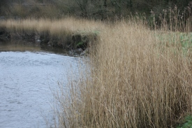 View of the reeds (Phragmites australis) from Afon Lliw bridge
