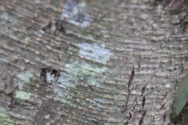 Lecanoraceae Lichen (Lecanora albescens)
