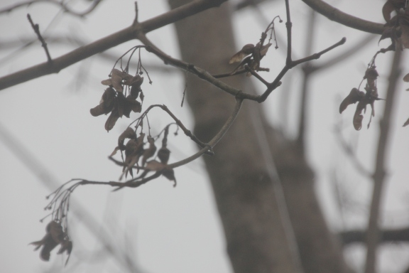 Sycamore seed-heads