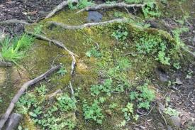 Arthritic Oak roots