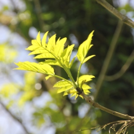 Ash (Fraxinus excelsior)