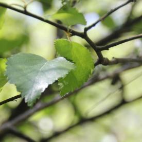 Birch (Betula)