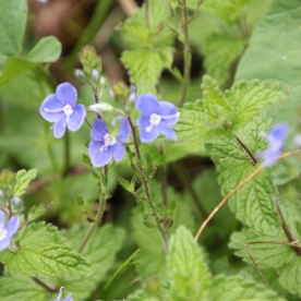 Common Field Speedwell (Veronica persica)