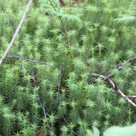Common Haircap moss (Polytrichum commune)