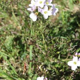 Dame's-violet (Hesperis matronalis)