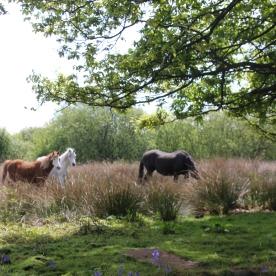 Horses (Equus species)