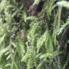 Neat Feather-moss (Pseudoscleropodium purum)
