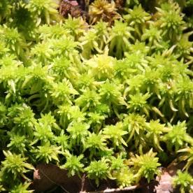 Sphagnum moss (Sphagnum ssp.)