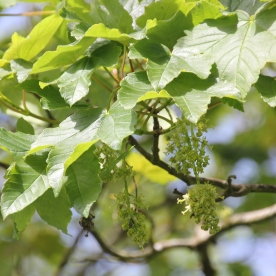 Sycamore (Acer pseudoplatamus)